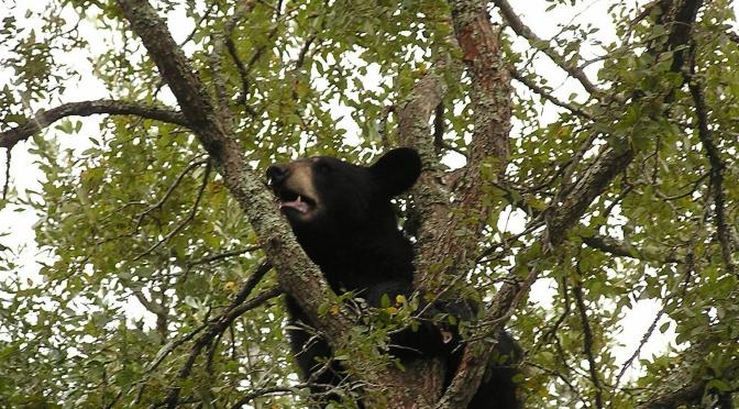 Ursus americanus in texas