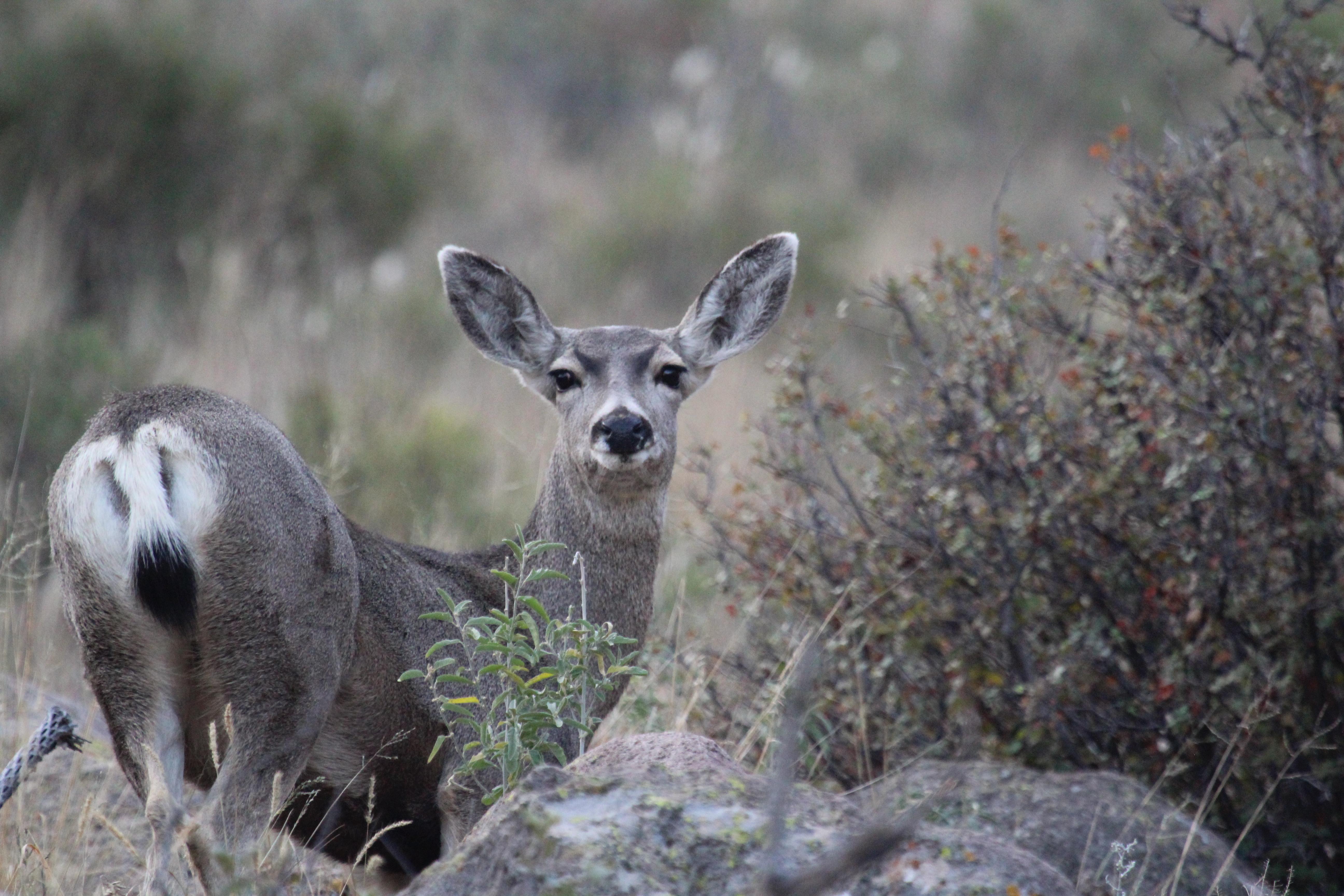 big mule deer doe