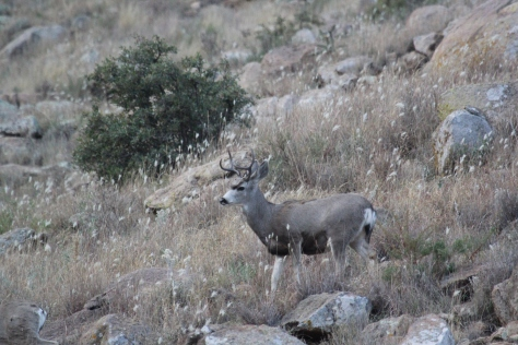 young mule deer buck
