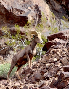 nevada bighorn edit vertical