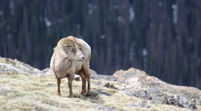 COVID-19 And The Wild Sheep Decline: An Interesting Parallel