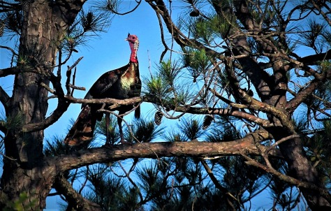 Newton County Gobbler Edit (2)
