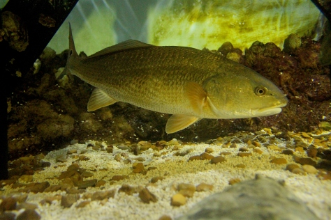 redfish underwater 1