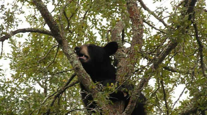 Journey Of A Wayward Black Bear