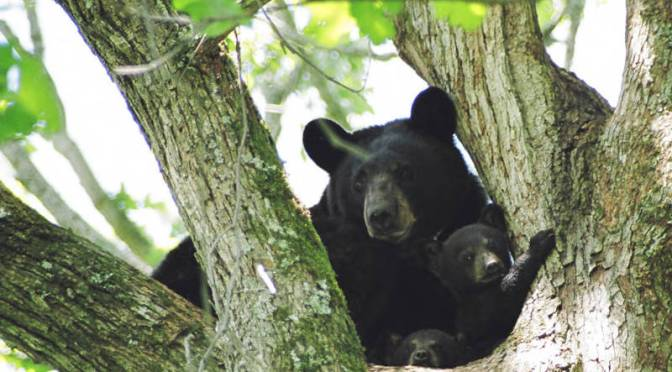 TPWD Notes Bear Activity in NE Texas